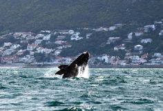 Una ballena cerca de la costa de Muizenberg Beach, en Ciudad del Cabo (Jennifer Bruce, 2013)
