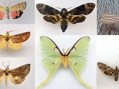 These are the coolest and most unusual moths in the Smithsonian's collections. Moth Species, Three Toed Sloth, Moth Caterpillar, Vertebrates, Wild Ones, Collections