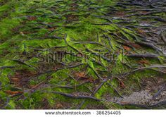 Beautiful tree roots in soil covered with fresh green moss, suitable for natural background texture pattern.