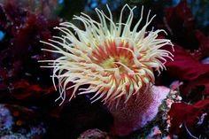 Deniz Şakayığı (Anemonia actinia) ( bitkiye benzeyen deniz canlısı ) Hexacorallia sınıfından knidller grubuna verilen ad. Deniz diplerine tutunmuş yaşayan deniz şakayıklarına (Anemonia actinia) kıyılara yakın yerlerdeki kayaların üstünde çok sık rastlanır. 4-5 cm boyunda olan silindirimsi gövdelerinin tabanı, deniz altındaki kayalara tutunur. Sürünerek ya da yuvarlanarak hareket ederler