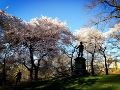 Twitter / joshgad: Nothing as magical as cherry blossoms in Central Park