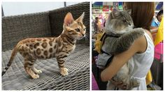 Hard to decide whether to buy a dog or a cat? Interestingly enough, there are some cats breeds that behave like dogs, let's take a look at them! Visit the link for 15 Purrsome cat breeds that behave like dogs – The CATDOGS. Kittens Cutest, Cats And Kittens, Cat Species, Cat Urine, Cat Facts, Domestic Cat, Beautiful Cats, Stunningly Beautiful, Dog Cat