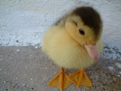MY FAVE ANIMAL!!! (baby duck)