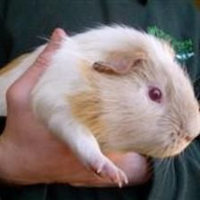 Ant is a castrated male looking for a home with a female Guinea pig. He is a chatty man who calls out for his veg. If you have a single female looking for a friend please contact the Godmanchester Shelter.