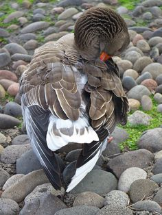 Online Contest - Preening WILD Birds #birds #geese #feathers #animals