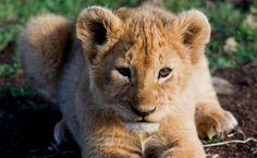 Filhote de leão no Serengeti O rei das selvas só adquire a famosa juba quando chega à idade adulta, que ocorre por volta de três a quatro anos de idade. Até então, os filhotes de leões só ajudam em algumas caçadas e são dominados pelas fêmeas.
