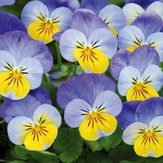 Viola Sorbet XP Yellow Frost (6 plants) £4.50