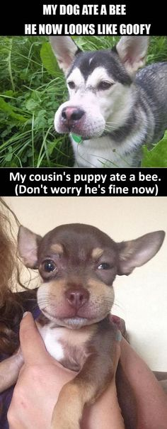 My dog ate a bee… These actually make me laugh out loud!
