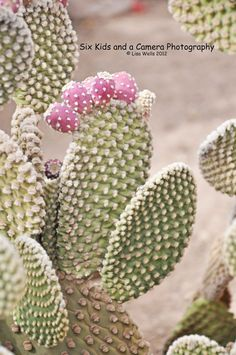Cactus with Fruit, Arizona, Green and Pink, Desert Flora, Southwestern Decor, 5 x 7 print