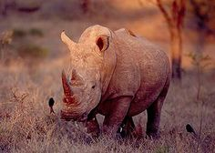 See the White Rhino at the Madikwe Game Reserve in South Africa.