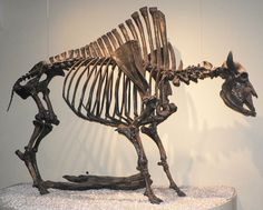 Skeleton of Bison antiquus, larger ancestor of the American bison, or buffalo