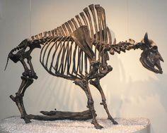 Skeleton of Bison antiquus, larger ancestor of the American bison, or buffalo