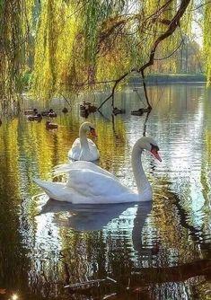 Beautiful Swan, Beautiful Birds, Animals Beautiful, Cute Animals, Swan Pictures, Bird Pictures, Beautiful Pictures, Image Nature, Nature Photos