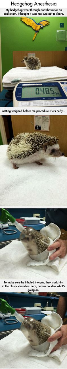 Hedgehog's Dental Exam another reason why i love my job