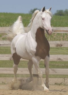 RBA Phantom - 1998 Bay Tovero Arabian Pinto Stallion,  7/8 Arabian