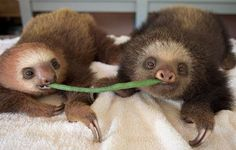Sloths: Lazy or Crazy? It's a Tough Call