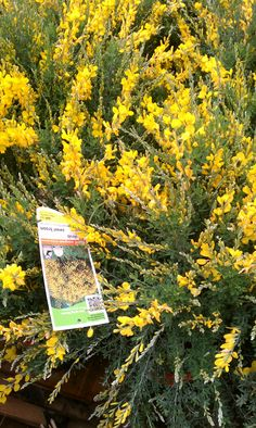 "The Plantagenets took their name from this plant, which in Latin is ""planta genista"".Between 1154 and 1485, a period of 331 years, England was ruledby one family. The Plantagenets, who were descended from one man, Geoffrey of Anjou whose badge was the broom plant. ""planta genista""."