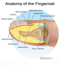 Hyponychium known informally as the quick of the nail in humans nail diagram bing images ccuart Images