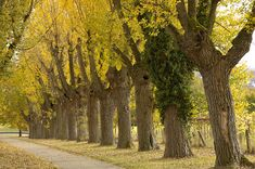 Avenue With Black Poplar Trees In Autumn Photograph by Matthias Hauser