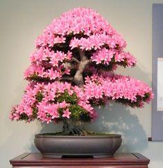 Con esta selección esperamos que encontréis vuestro ejemplar ideal para comenzar un bonsai y debutar así en este maravilloso mundo de las miniaturas arbóreas. Son, según dicen los entendidos, los m…