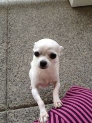 Alma #398 is an adoptable Chihuahua Dog in Clear Lake, WA. Alma #398 is a tiny 3+ lb thin, sc, white female Chihuahua who was surrendered by her family in North Bend, WA because the small noisy kids w...