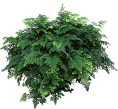 "Fronds on Maidenhair Ferns can reach 20""-24."" Use this fern as a hanging #houseplant & enjoy. www.HousePlant411.com"