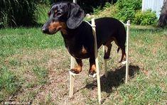 Crusoe the Dachshund on stilts.