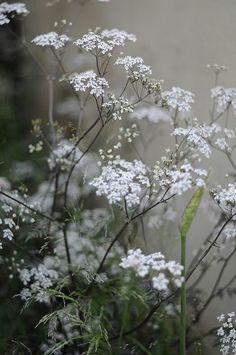 ~ Spring Pirouettes ~ Daucus Carota . . . Queen Anne's Lace