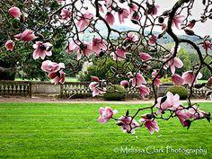 magnolia branching