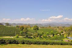 Choui Fong Tea Farm, escursioni nel nord della #Thailandia #rainbowRTW #tatroma