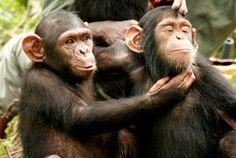chimp4.jpg (400×268)