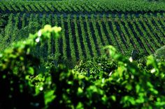 Istrian vineyards are taken with great care #istra #istria #croatia #adriatic #sea #food #drink #vineyard #wine
