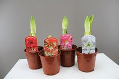 Cool Gifts For Women, Gifts For Mum, Christmas Plants, Christmas Home, Amaryllis Bulbs, Best Christmas Presents, Unique Presents, Garden Gifts, Cactus Plants