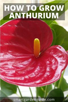 How to grow anthurium. Anthurium care tips to help you keep this beautiful plant. How to grow anth Garden Trees, Garden Plants, Indoor Plants, House Plants, Design Thinking, Growing Flowers, Planting Flowers, Anthurium Care, Harvest Day