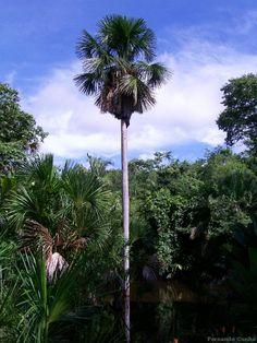 Mauritia flexuosa. Buriti, coqueiro buriti, buritizeiro, é planta do gênero Mauritia, da família das arecáceas (antigas palmáceas). Na foto um buritizeiro na zona rural de Governador Edson Lobão, no estado do Maranhão, Brasil.  Fotografia: Fernando Cunha.