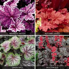"""Heucheras offer all-year-round interest thanks to their semi-evergreen foliage. They also produce delicate flowers on tall wiry stems from Late spring through summer, which are particularly attractive to bees and butterflies. Heuchera 'Ever-colour Collection'. Height: 45cm (18""""). Spread: 40cm (16""""). Bright green and yellow foliage varieties are also available."""