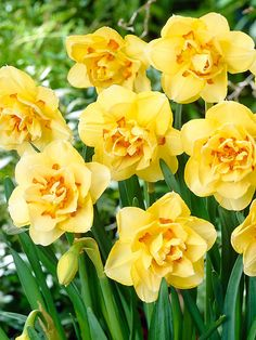 Daffodil Tahiti - Common name:Narcissus - Floriferous bloomers! Fully double flowers of 'Tahiti' are soft yellow accented by tufts of orange.
