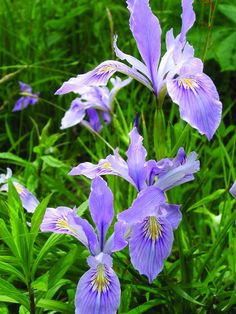 Blue flag iris, Quebec's provincial flower