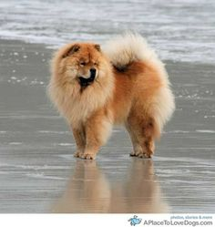 chow chow carmel by the sea • from  APlaceToLoveDogs.com • dog dogs puppy puppies cute doggy doggies adorable funny fun silly photograph