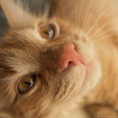 Red cat with Pink Nose. #cats #catphotos