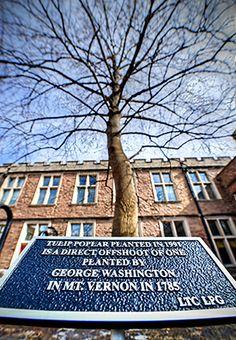 Descendant of George Washington's tree alive and well on Washington University's campus | Newsroom | Washington University in St. Louis