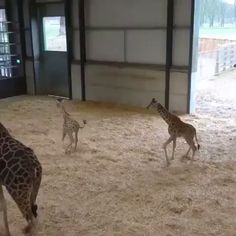 too cute for words! too cute for words! The post Baby giraffe. too cute for words! appeared first on Gag Dad. Cute Funny Animals, Cute Baby Animals, Cute Dogs, Cute Animal Videos, Funny Animal Pictures, Funny Animal Gifs, Cute Baby Videos, Nature Animals, Animals And Pets