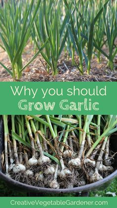 If you've never planted garlic in your garden, here's why you should put it on your list for this year.