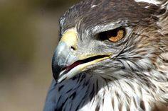 Sad news about two dead Bonelli's Eagle in Talavera, La Mancha.