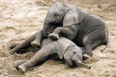 Elephant at Tarangire National Park playing, Tanzania