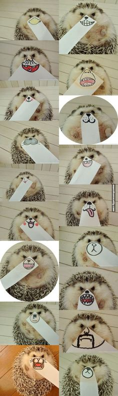 A good example of a ridiculously cute hedgehog who's getting real tired of your shit.