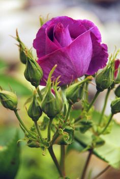 purple | Nature Purple Rose Gallery...