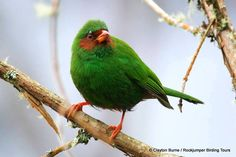 Grass-green Tanager, and occurs in the Andes from Colombia south to Bolivia
