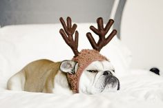 The laziest reindeer you will ever meet - pets & animals / Rudolph the lazy bulldog Love My Dog, Puppy Love, Baby Animals, Funny Animals, Cute Animals, Funny Pets, Cute Puppies, Cute Dogs, Tier Fotos