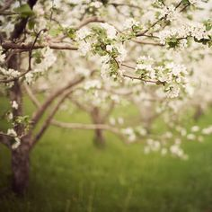 Blossoms in Spring, Tree Photograph, Flowers, Apple Orchard, Bloom, Garden, For Her, Nature Photography, Easter - Spring whispers